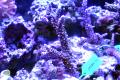【Coral de Sakieda G&G】トゲスギミドリイシ(シリアルNo.00347)