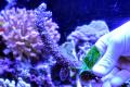 【Coral de Sakieda G&G】トゲスギミドリイシ(シリアルNo.00341)