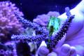 【Coral de Sakieda G&G】トゲスギミドリイシ(シリアルNo.00351)