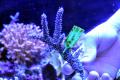 【Coral de Sakieda G&G】トゲスギミドリイシ(シリアルNo.00362)