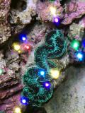 Tridacna Maxima(No.13)
