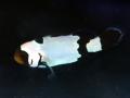国産ブリード ブラックアイスオセラリス No.01