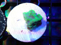 【ReefRaft】RR Day Dream Frag(No.01)