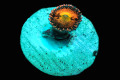 【ReefRaft】Pine apple express Zoa(No.02)