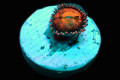 【ReefRaft】Pine apple express Zoa(No.03)
