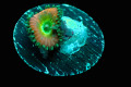 【ReefRaft】Beauty and the beast Zoa(No.02)