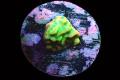 【JasonFox Signature Corals】Beach bum monti(No.01)