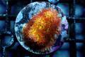【JasonFox Signature Corals】Burning Banana stylo(No.01)