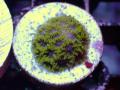 US便Reef2Reef blueberry fields laptastrea Frag(No.01)