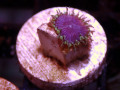 (US Zoa)Purple Death  Zoa(No.02)