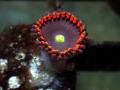 (US Zoa)Golden basket reef Mystic Rainbow(No.01)