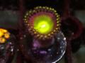 (US Zoa)Golden basket reef Rainbow Laser(No.02)