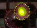 (US Zoa)Golden basket reef Rainbow Laser(No.03)