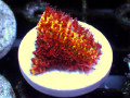 【JasonFox Signature Corals cites取得済み】Burning Banana stylo(No.03)