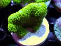 トンガ産ショウガサンゴ Green Frag(No.02)