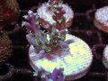 インドネシア産Acropora sp.(No.02)