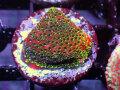 Sustanable Reef オーストラリア産 Fairy Light Monti Frag(No.02)