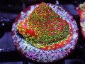 Sustanable Reef オーストラリア産 Fairy Light Monti Frag(No.03)