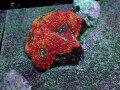 (Monsoon Aquatics Australia)Acanthastrea Bowerbanki(No.02)