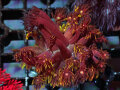Sustainable Reefs Australia Flamin Good Goniopora(No.01)