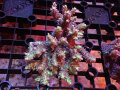 Sustainable Reefs Australia Wild Strawberry Shortcake(No.01)