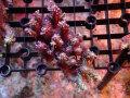 Sustainable Reefs Australia Wild Strawberry Shortcake(No.02)
