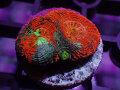 【Uro Coral】Pumpkins(No.02)