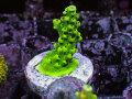 【Uro Coral】Acropora sp.(No.09)