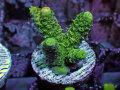 【Uro Coral】Acropora sp.(No.16)