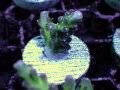 【Uro Coral】Acropora sp.(No.18)