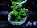 【Uro Coral】Acropora sp.(No.23)