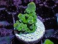 【Uro Coral】Acropora sp.(No.25)