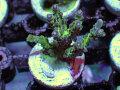 【Uro Coral】Acropora sp.(No.26)