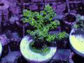 【Uro Coral】Acropora sp.(No.28)