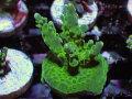 【Uro Coral】Acropora sp.(No.29)
