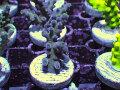 【Uro Coral】Acropora sp.(No.30)