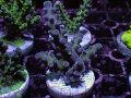 【Uro Coral】Acropora sp.(No.31)