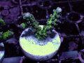 【Uro Coral】Acropora sp.(No.32)