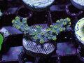 【Uro Coral】Acropora sp.(No.34)