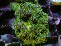 【Uro Coral】Pocillopora(No.38)