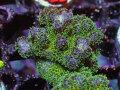 【Uro Coral】Pocillopora(No.39)