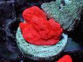 【Uro Coral】Setosa(No.41)