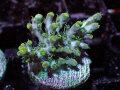 【Uro Coral】Acropora sp.(No.48)
