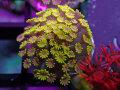 【Uro Coral】Chrysa Goniopora Green(No.02)