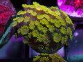 【Uro Coral】Chrysa Goniopora Green(No.03)