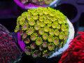 【Uro Coral】Chrysa Goniopora Green(No.05)