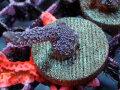 Sustainable Reefs Australia Digitata Blue Gen(No.02)
