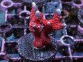 インドネシア産Red Digitata Frag(No.01)