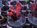インドネシア産Red Digitata Frag(No.02)
