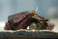 (コケ取り)マガキ貝 30個セット